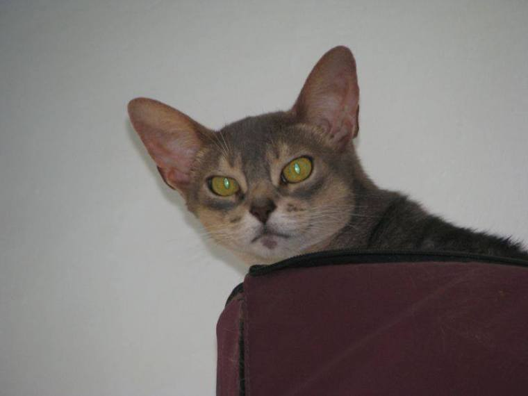 pedigree – The Daily Abyssinian…and Singapura