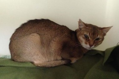 abys in shelters – The Daily Abyssinian…and Singapura