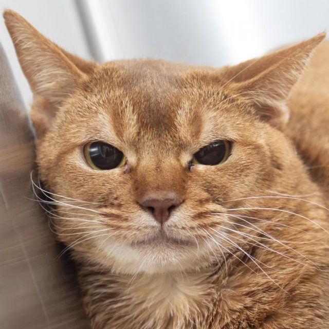 Abyssinian Cat Rescue Pa